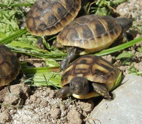 Schildkröten Griechische Landschildkröten einjährig an