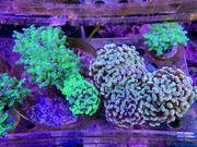 LPS Korallen Zoanthus Rhein-Main update