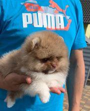 Pomeranian Zwergspitz pom Mini Boo
