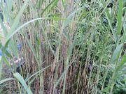 Schilf-Pflanzen aus Gartenteich