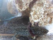 Unser Axolotl Nachwuchs sucht liebevolle