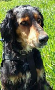 Milo ein aktiver Settermischling hundeverträglich