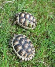 4 Jahre alte Breitrandschildkröten