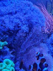 Ableger Korallen