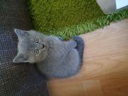 BKH-Kitten und Scottish Fold
