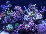 Korallen aus eigener Zucht Meerwasser
