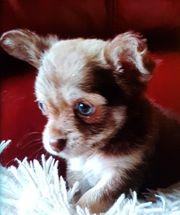 Sehr schöne Chihuahuas 9 Wochen