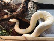 1 0 albino königspython