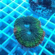 Verschiedene Meerwasser Korallen