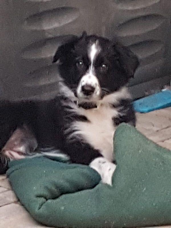 Wurfankundigung Australian Shepherd Aussie Welpen In Freital Hunde Kaufen Und Verkaufen Uber Private Kleinanzeigen