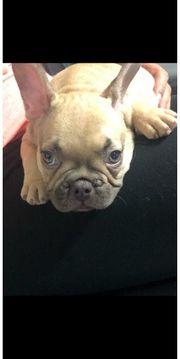 Franzoesische Bulldogge In Hurth Tiermarkt Tiere Kaufen Quoka De