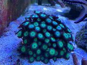 Zoanthus Mean Green Korallen Meerwasser