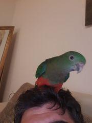 Handaufzucht Königssittich Dame Papagei Vogel