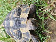 2 männliche griechische Landschildkröten