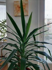 Yucca Palme ca 125 cm