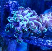 Korallen Ableger LPS SPS Goniopora
