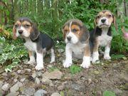 Tri Coloured Beagles Welpen jetzt