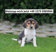 Beagle Welpen zu verkaufen fdf