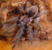 Phormictopus spec Salinas