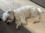 Malteser 10 Monate Rüde Stubenrein