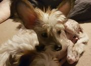 Chinese Crested Welpen Chinesischer Schopfhund