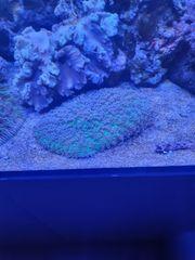 scheibenanemone rohdactis meerwasser koralle
