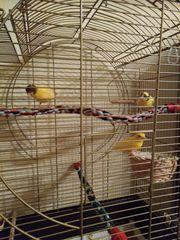 Kanarienvögel Kanarien in liebevolle Haltung