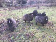 Verschiedene weibliche Schafe zu verkaufen