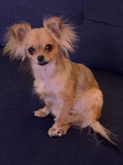 Chihuahua langhaar Hündin reinrassig