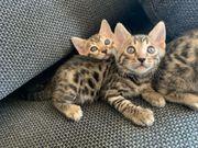 Bengalkatzen reinrassig