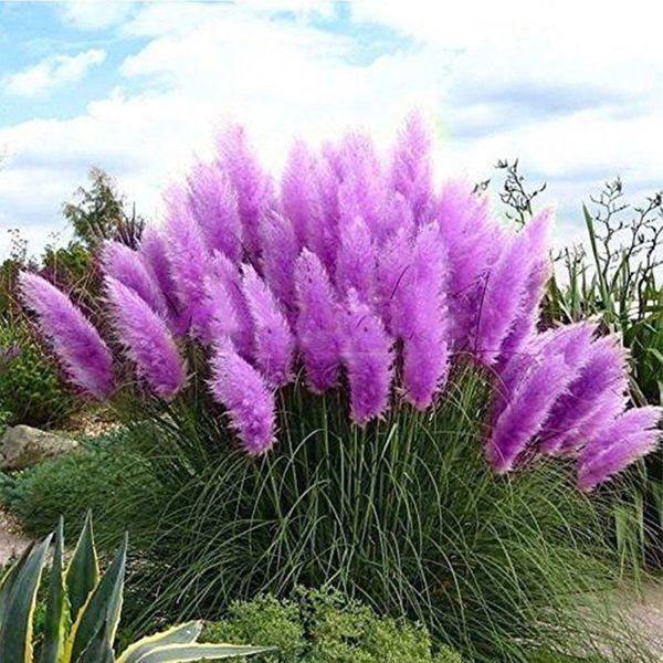 Pampasgrassamen blau lila rosa oder