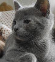 Karthäuser Bkh kitten Abgabebereit