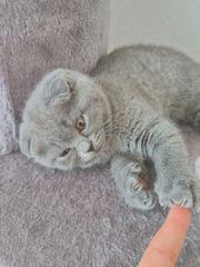 Scottish fold Straight kitten NUR