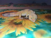 RESERVIERT BIS 18 4 - Leopardgeckos