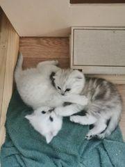 Zwei liebenswerte BKH Kitten suchen