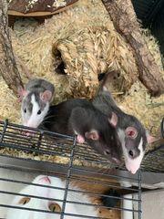 Ratten mit Zubehör