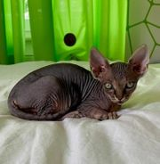Kitten Sphinx Kanadische Geb 07