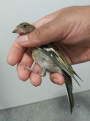 Buchfink Vogel
