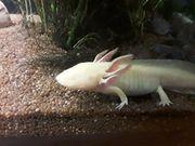 2 Axolotl zu verkaufen