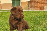 Reinrassige Labrador Welpen Dürfen reserviert