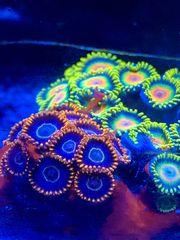 Korallen Meerwasser Korallenableger SPS LPS