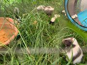 Streifenskunks Stinktier Nachzuchten abzugeben