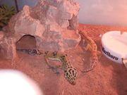 Leopardgecko mit Terrarium