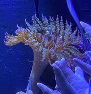 Meerwasser Sandanemonen pro Stück