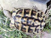 Griechische Landschildkröte weiblich von 2010