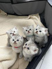 Britisch Kurzhaar Kitten BHK