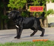 CANE CORSO extra just for