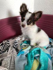 Super schöne Chihuahua Welpen