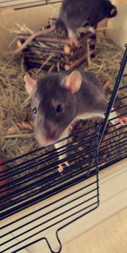 keine Futter Tiere Ratten mit