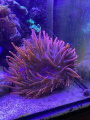Kupferanemone Quadricolor Koralle